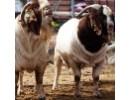 Peternakan Domba Unggulan